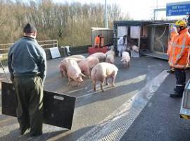 Kortrijk: Vrachtwagen geladen met varkens gekanteld op verkeerswisselaar 'Het Ei'