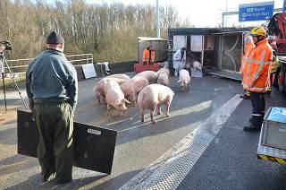 Vrachtwagen geladen met varkens gekanteld op verkeerswisselaar 'Het Ei'