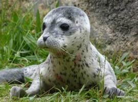 """Brugge: Boudewijn Seapark verwelkomt baby zeehondje """"Conchita"""""""