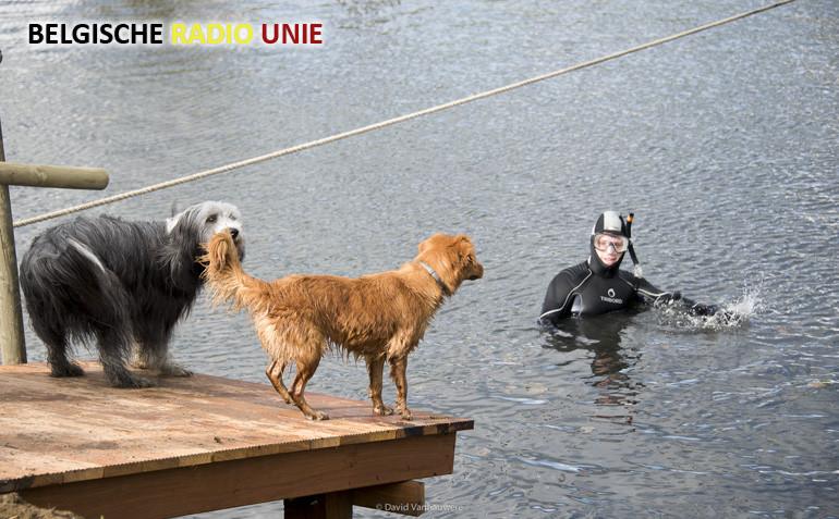 Hondenzwemming in Wielsbeke erkend als Vlaams Immaterieel Erfgoed