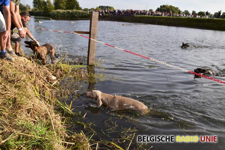 Hondenzwemming in Sint-Baafs-Vijve