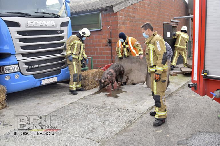 Brandweer redt varkens uit beerput in Lendelede