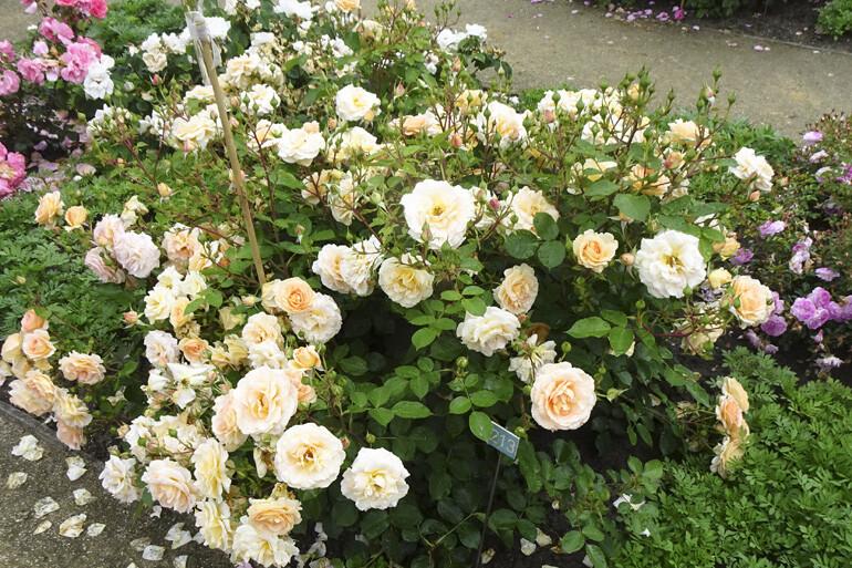 60ste internationale rozenkeuring in Kortrijk